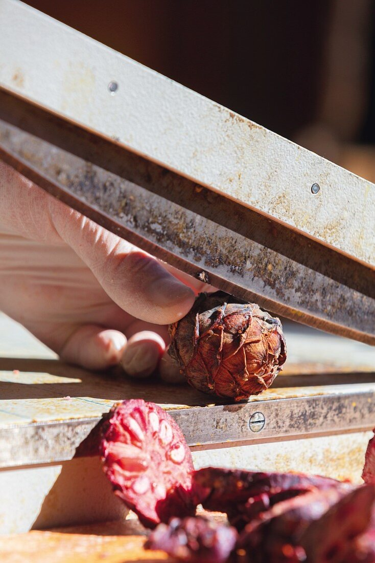 Cutting arolla pine cones with a paper guillotine