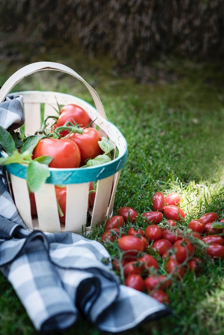 Tomatoes, hand picked in a basket