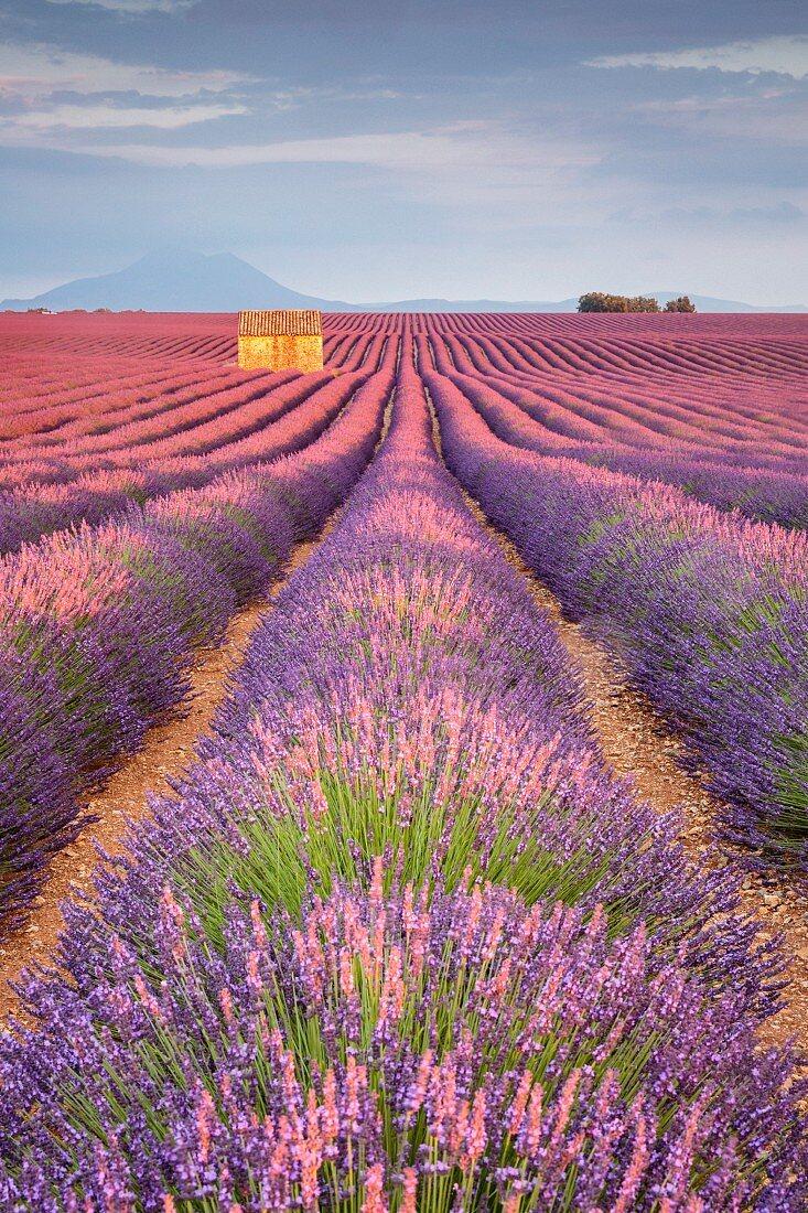 Haus in einem Lavendelfeld bei Sonnenuntergang, Plateau de Valensole, Alpes-de-Haute-Provence, Provence-Alpes-Côte d Azur, Frankreich