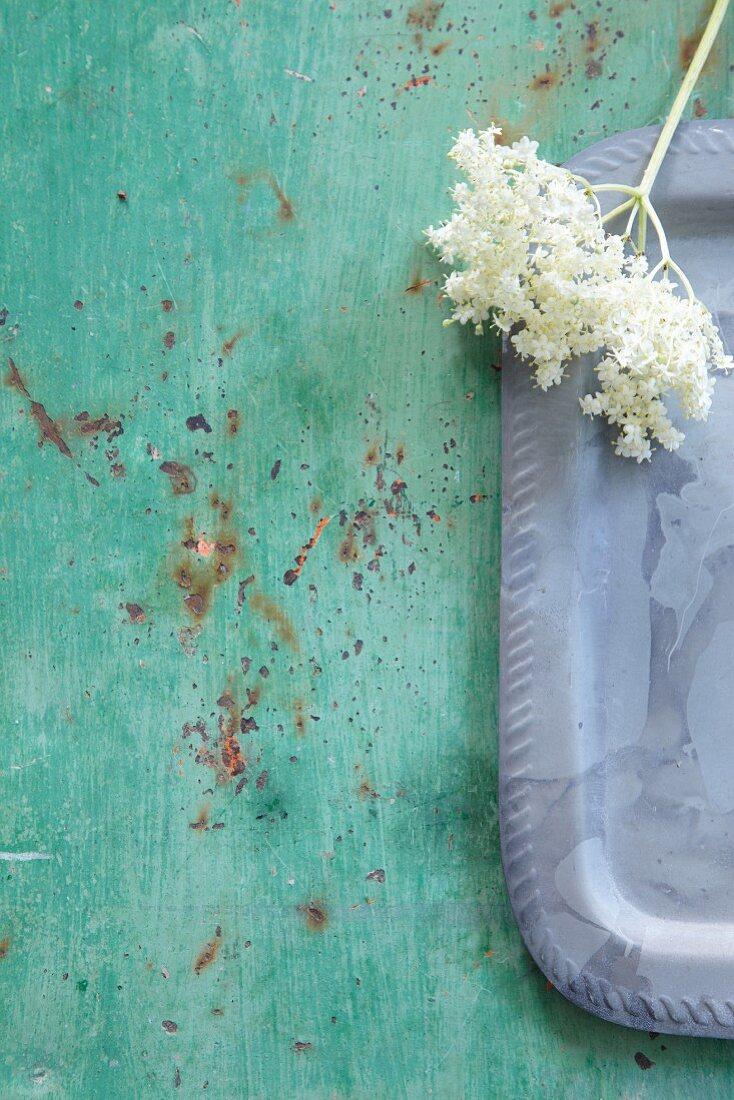 Frische Holunderblüten auf Tablett