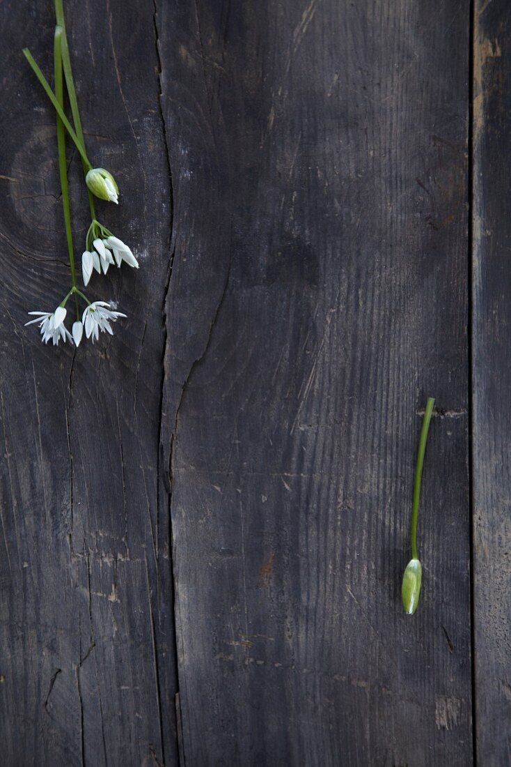 Wild garlic flowers on a black background (seen from above)