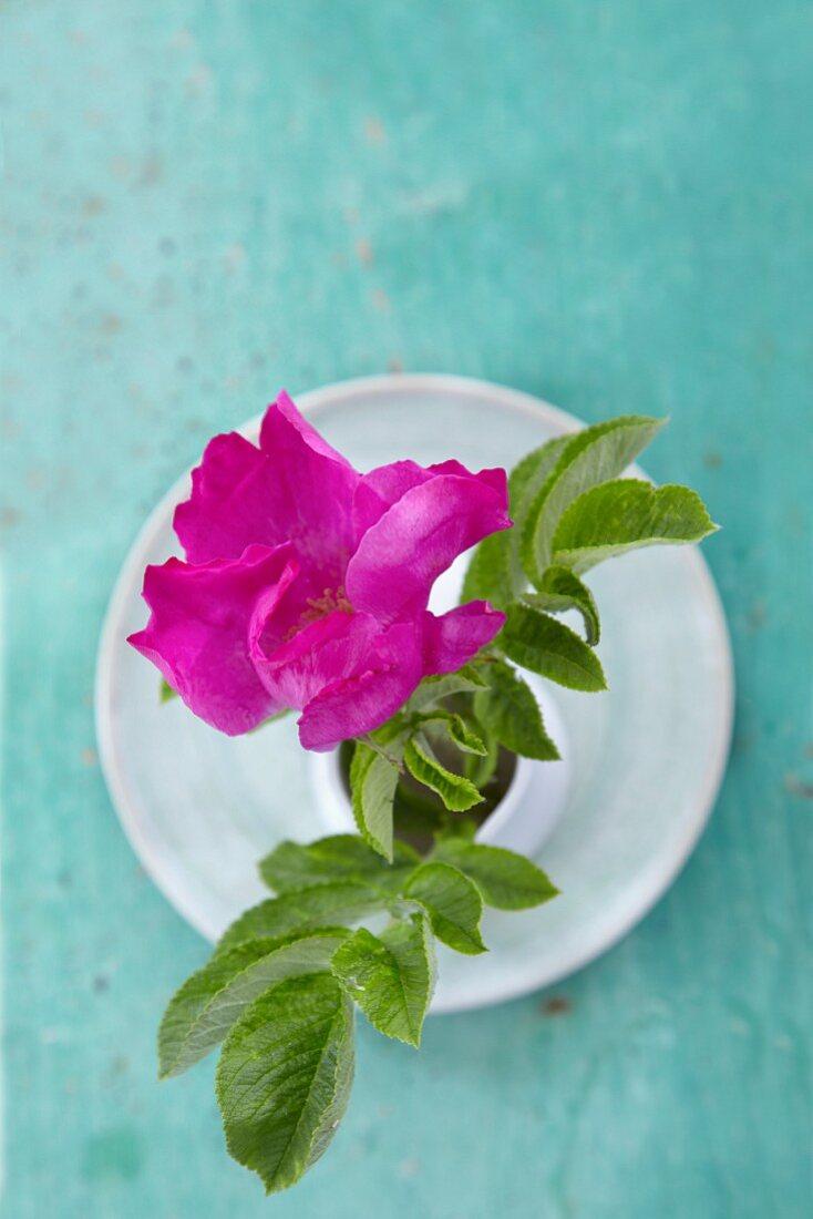Wild rose in vase