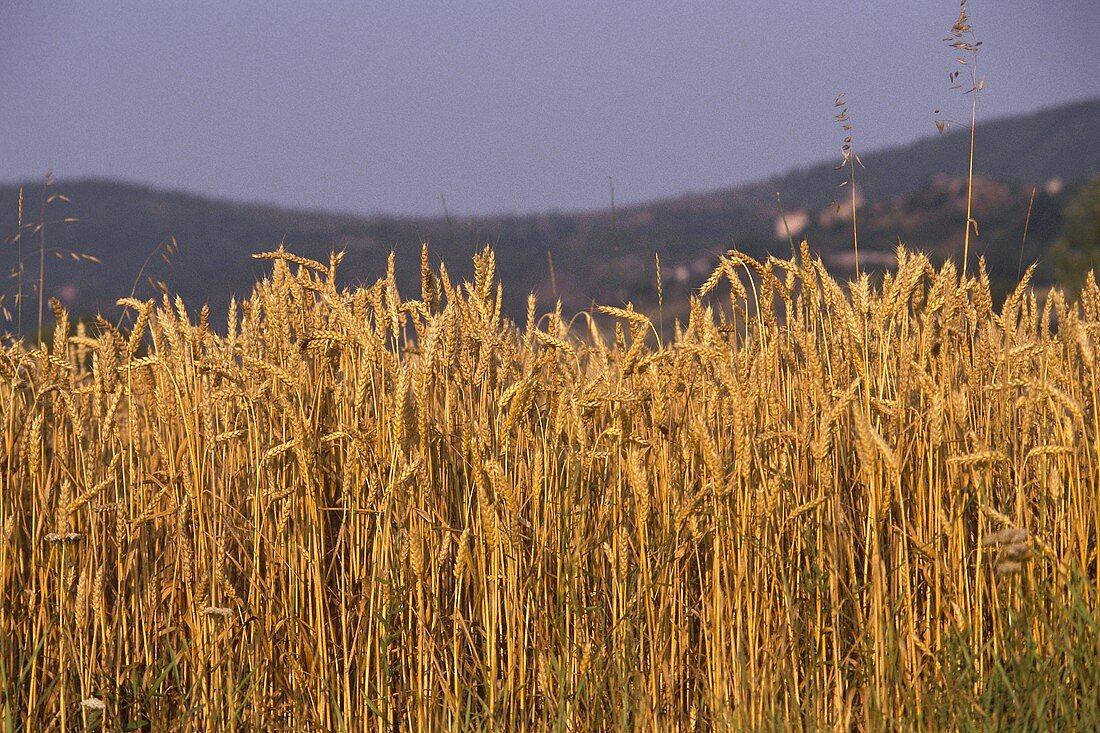 Weizenfeld im Abendlicht vor einem Hügel der Provence