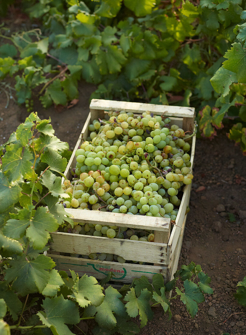 Box with grapes during wine harvest