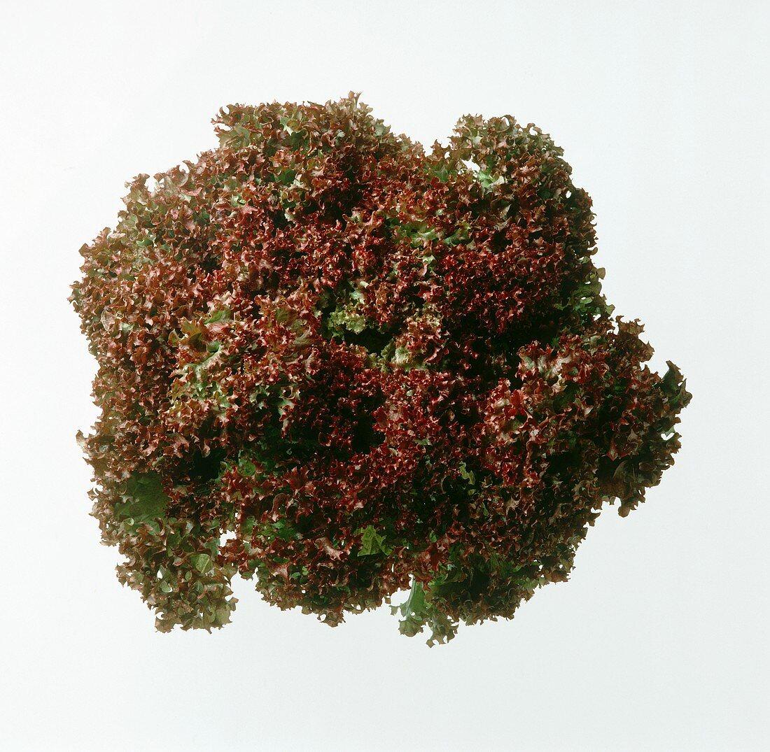 A Head of Lollo Rosso