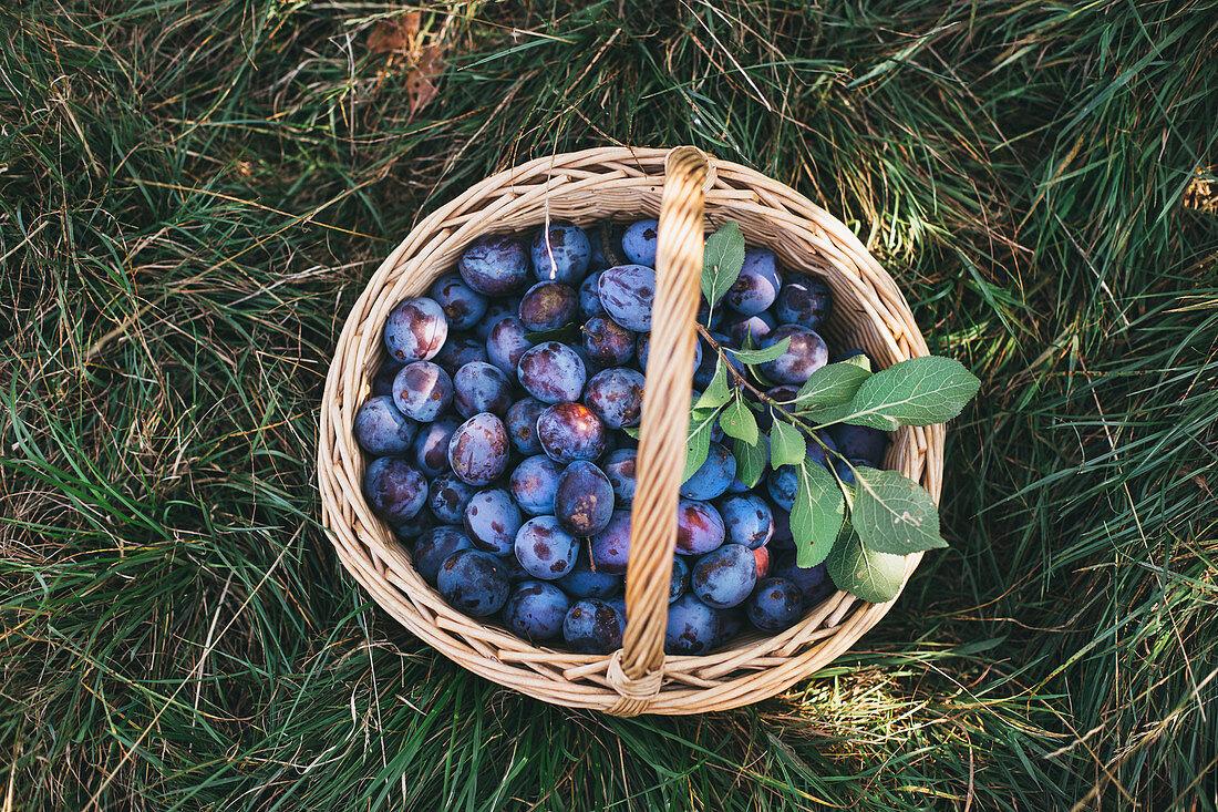 A basket of freshly picked damsons