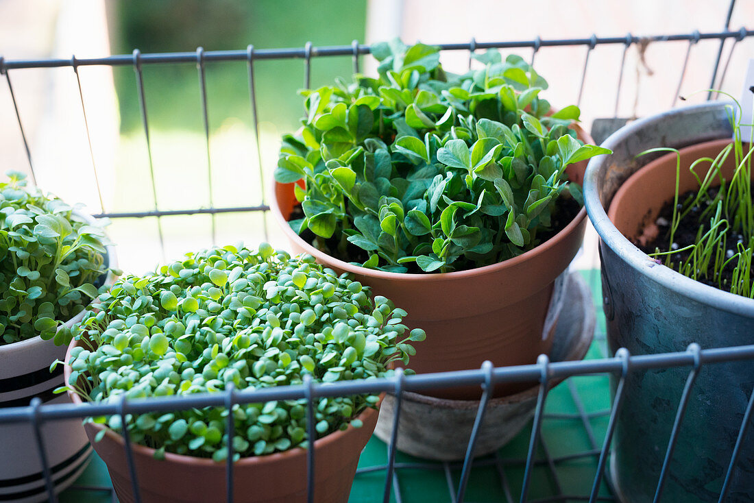 Various sprouts in plant pots