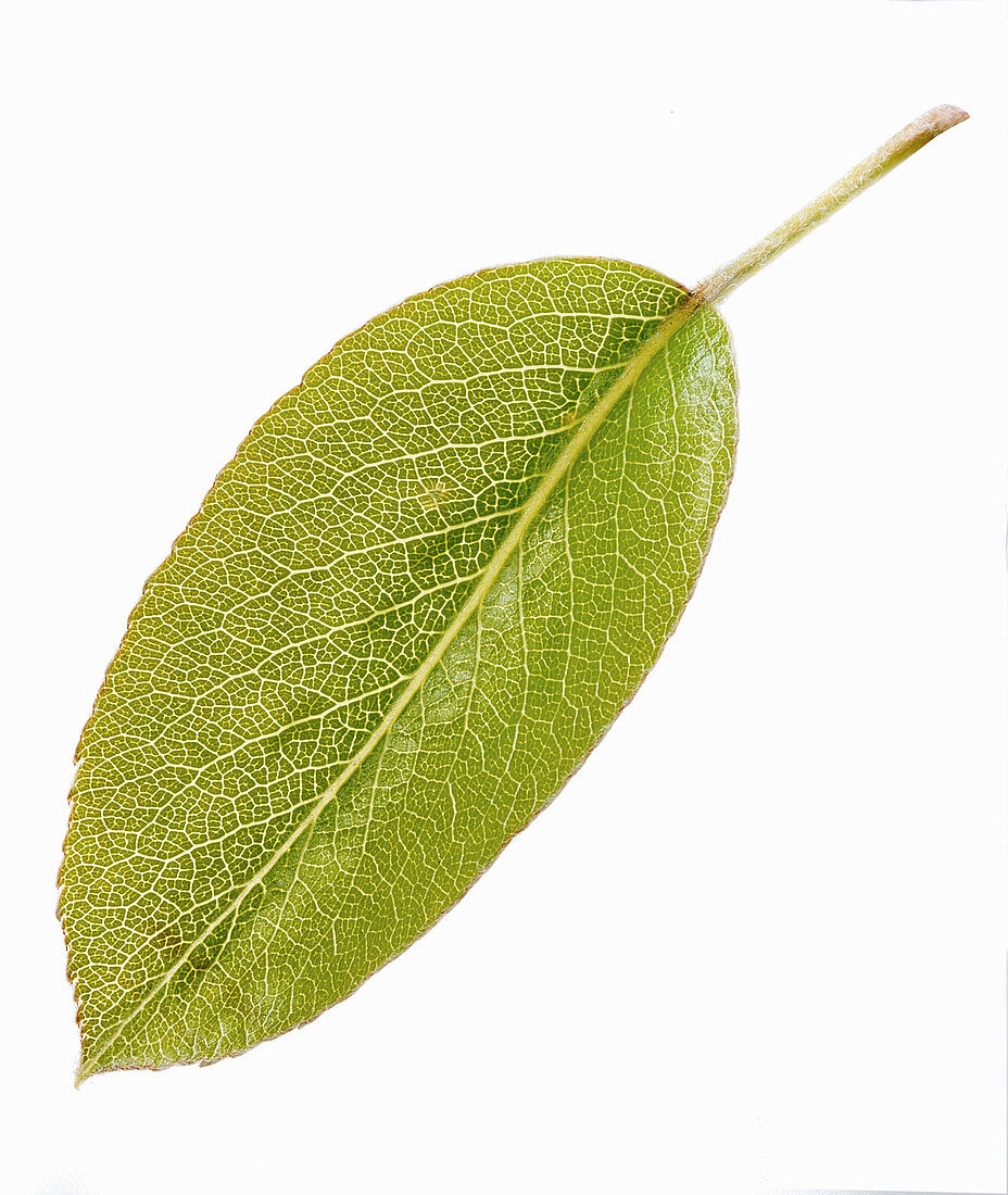 A pear leaf