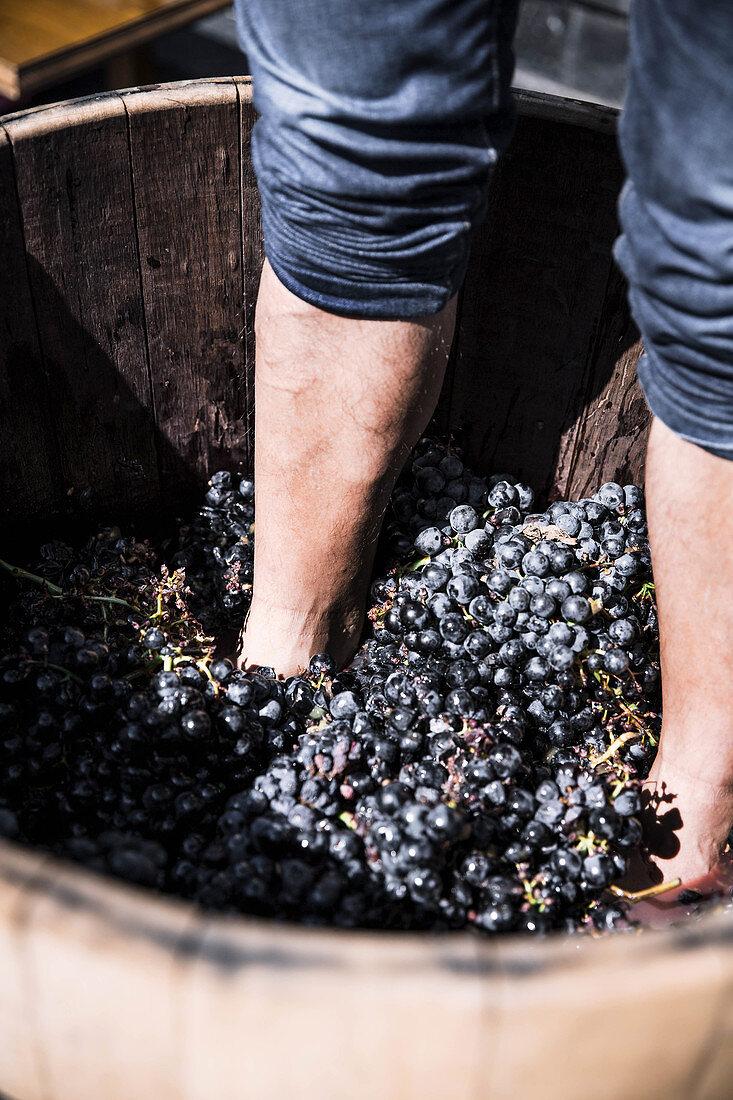 Winemaker squeezing red grape juice in big barrel