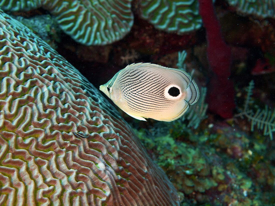 Foureye Butterflyfish (Chaetodon capistratus)