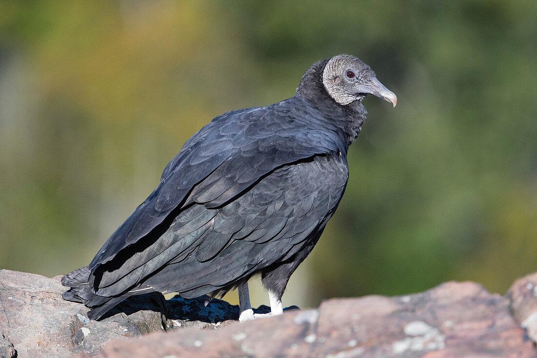 Black Vulture, Coragyps atratus
