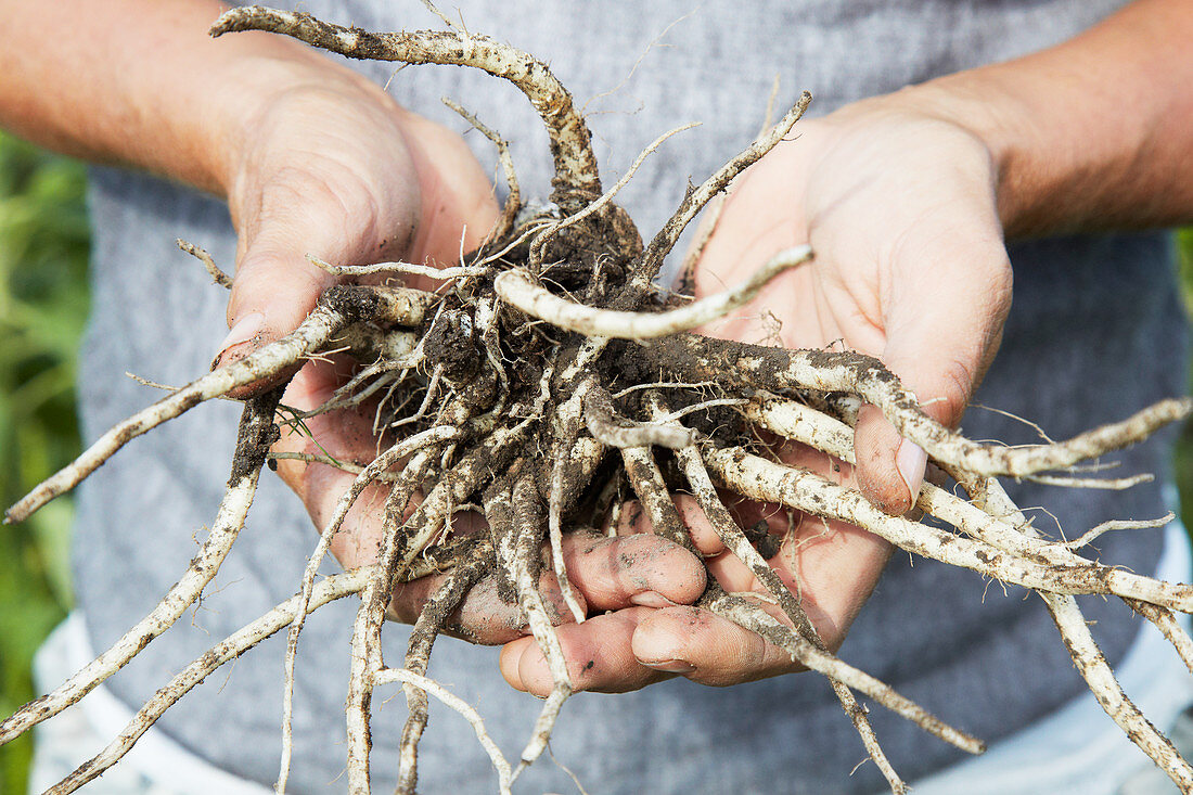 Hands holding freshly harvested roots