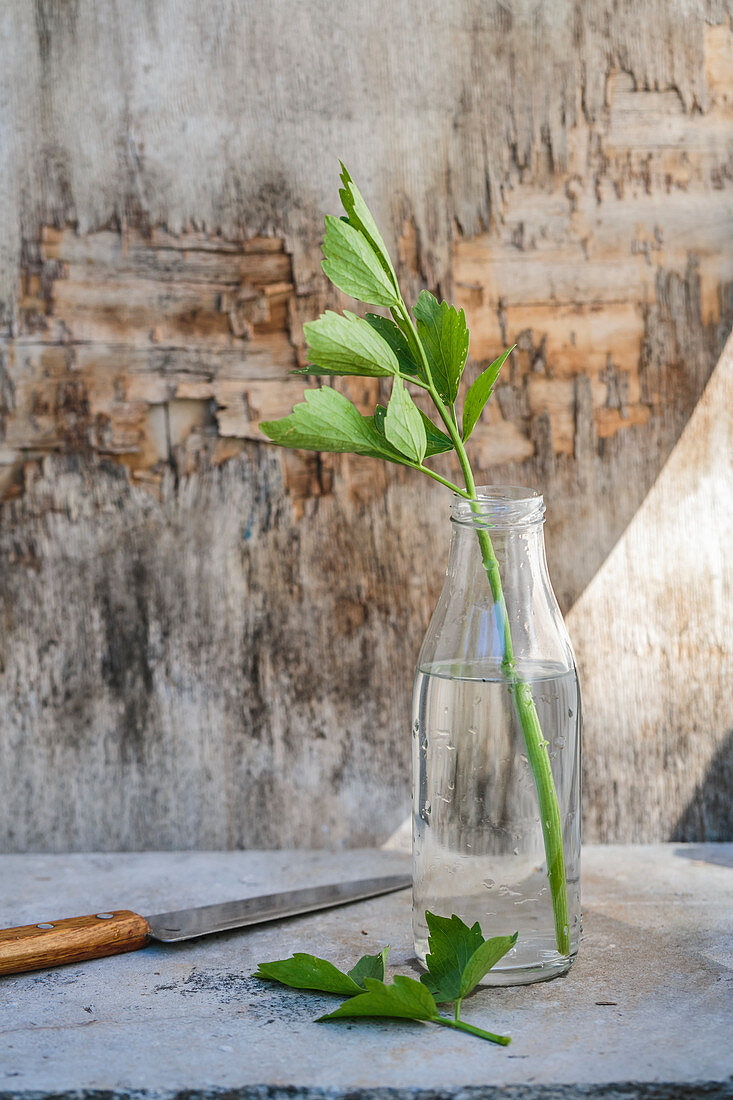 Lovage (Levisticum officinale) in a bottle