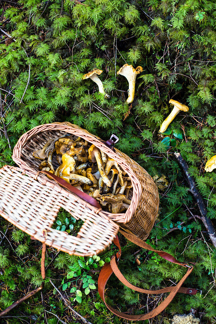 Freshly collected chanterelles in a basket and on a forest floor