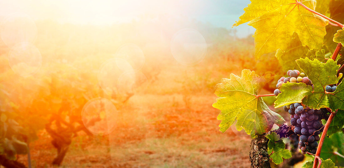 Nature background with Vineyard in autumn harvest, ripe grapes in fall