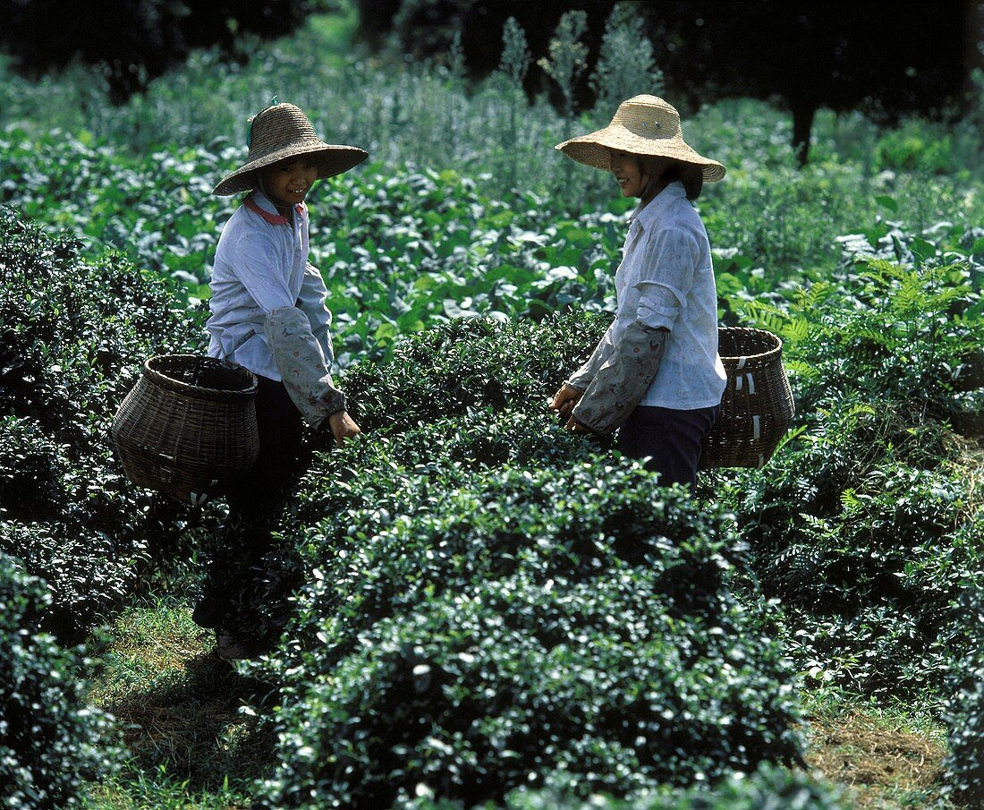 Harvesting Tea in China