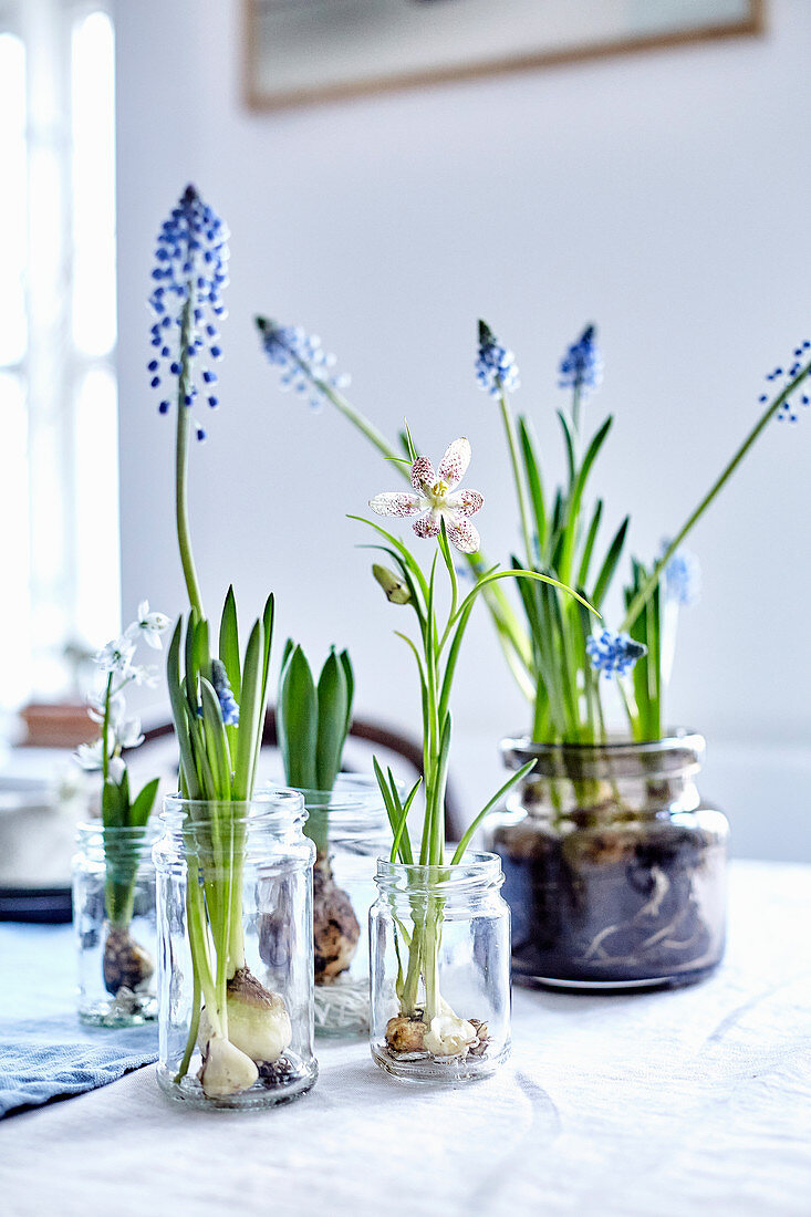 Flowering bulbs in glass jars as spring decoration on table
