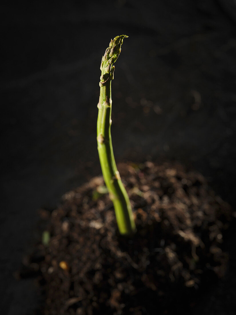 A green asparagus on black background