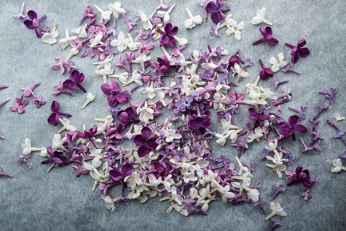 Violet and white lilac flowers on a gray background