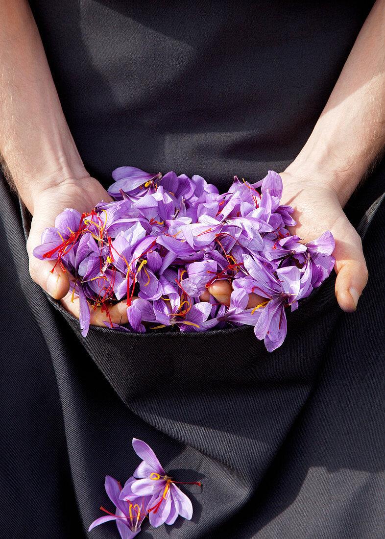 Collected saffron flowers