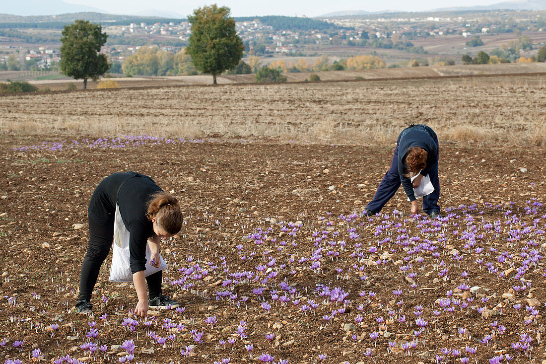 Two women harvesting Greek saffron
