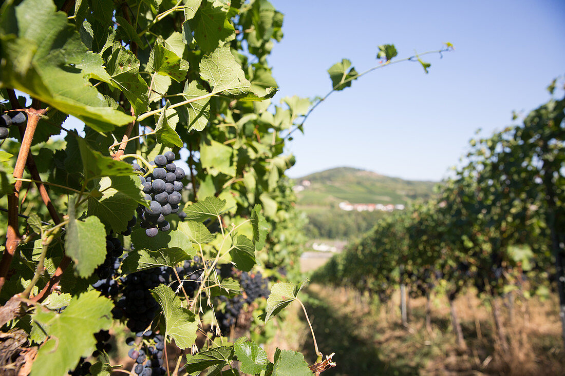 Red wine grapes on a vine, vineyards in Schengen, Luxembourg