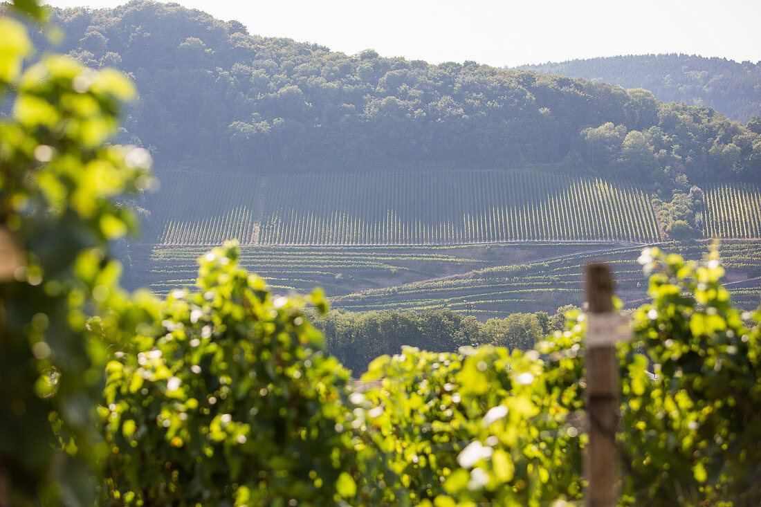 A vineyard hiking route near Perl, Germany (tri-border area)
