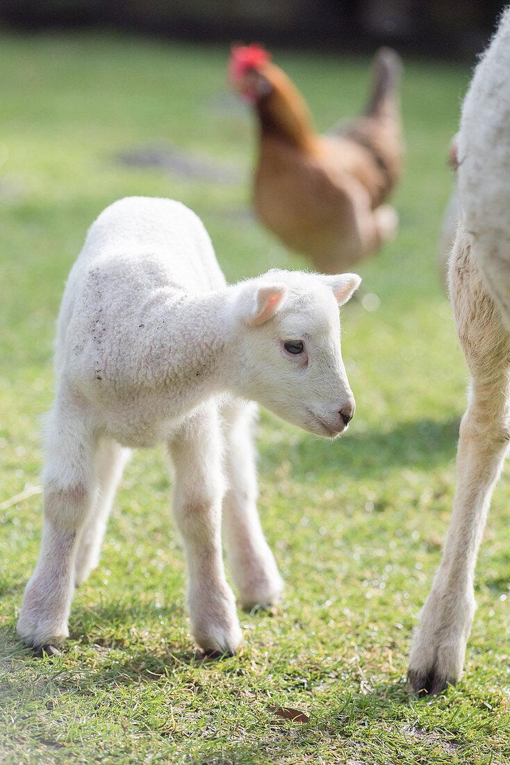 A little lamb in a field