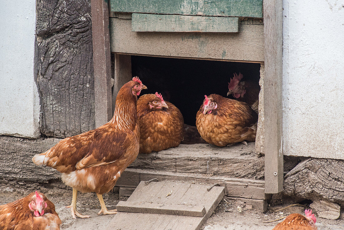 Happy hens in front of a hen house
