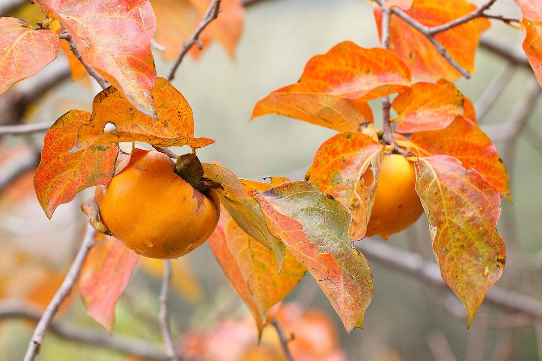 Persimmon (Kaki) fruit on tree at end of autumn
