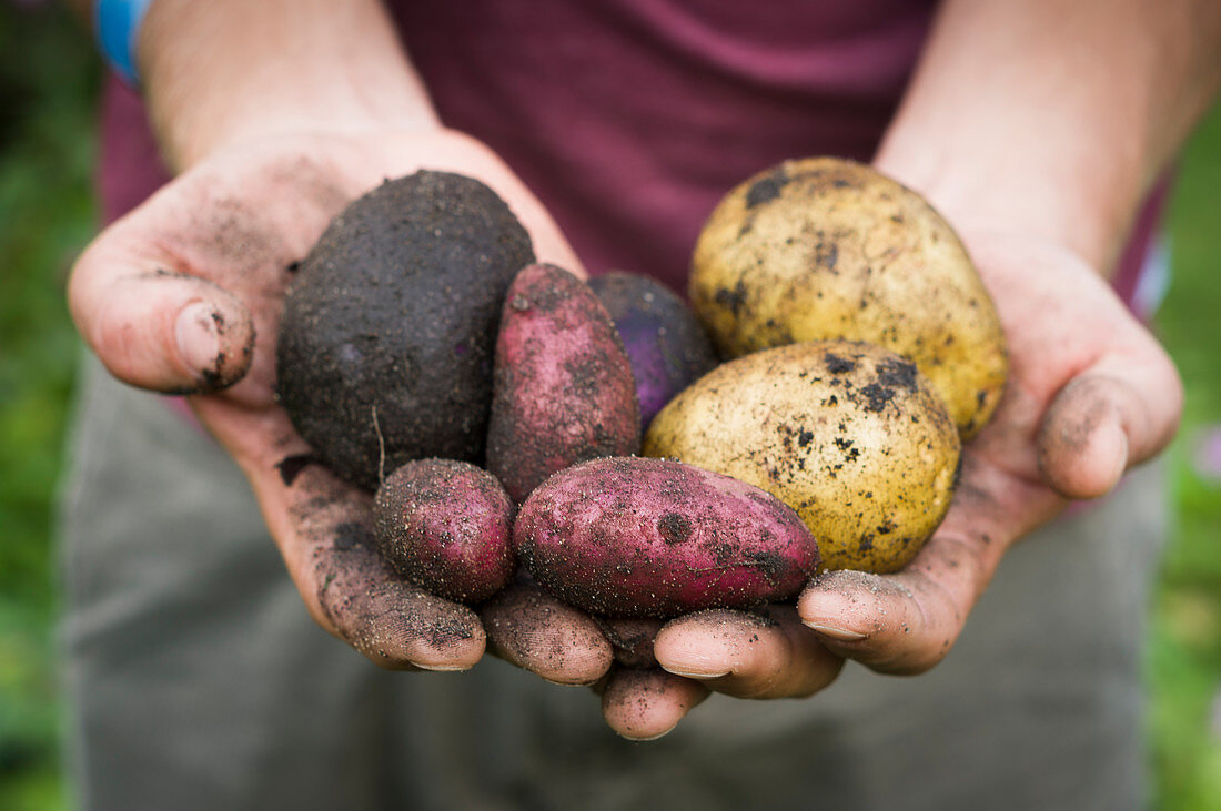 Man shows colorful freshly harvested potatoes of the varieties Rote Emmalie, Avanti and St. Galler
