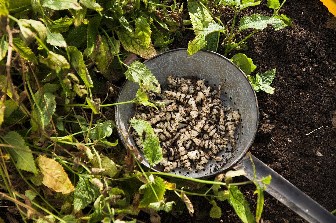 Freshly harvested Chinese artichoke in an enamel sieve in a garden bed