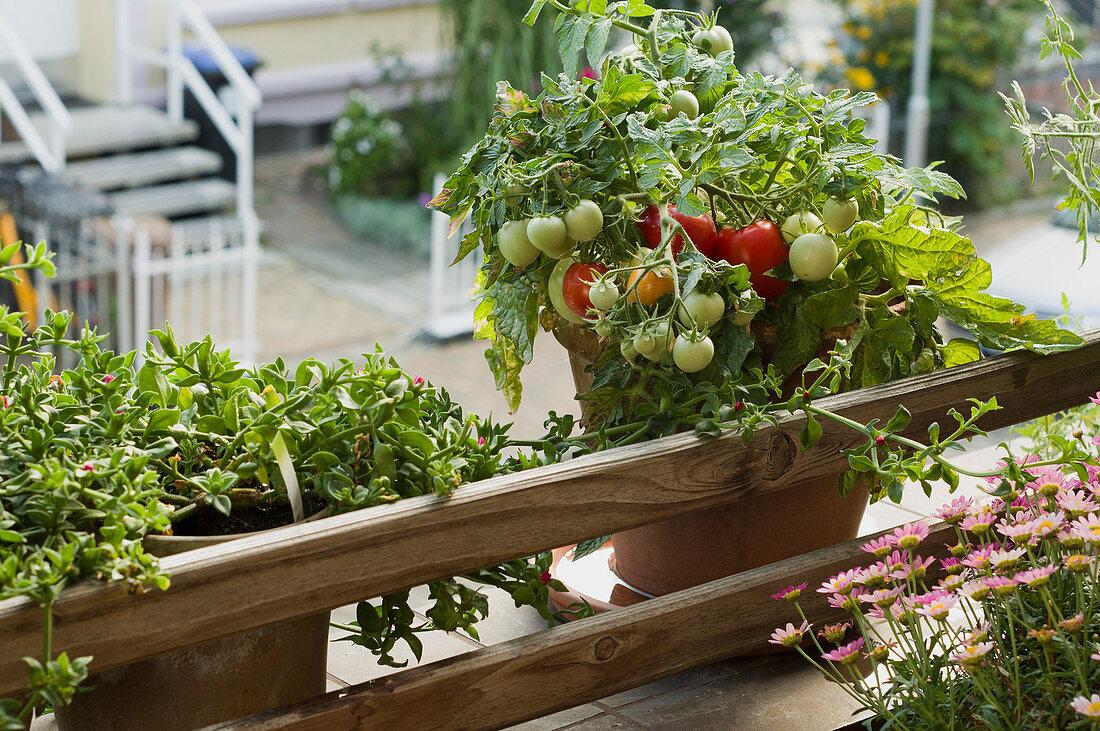 Bonsai tomatoes on a balcony