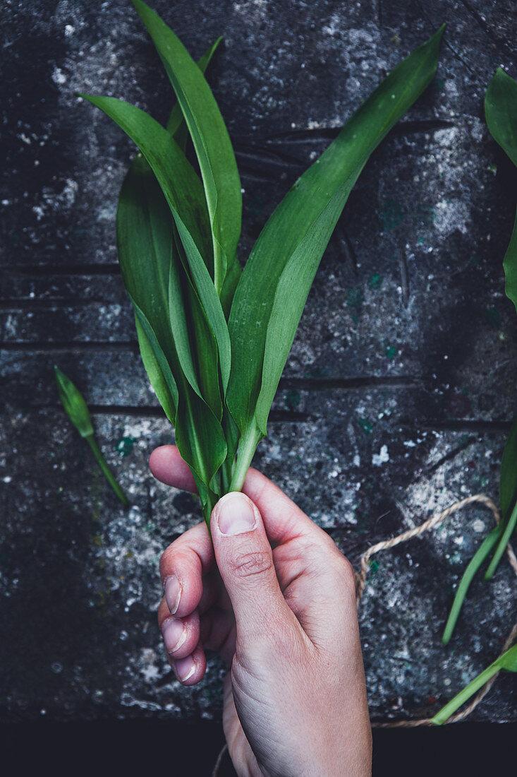 Hands holding fresh wild garlic