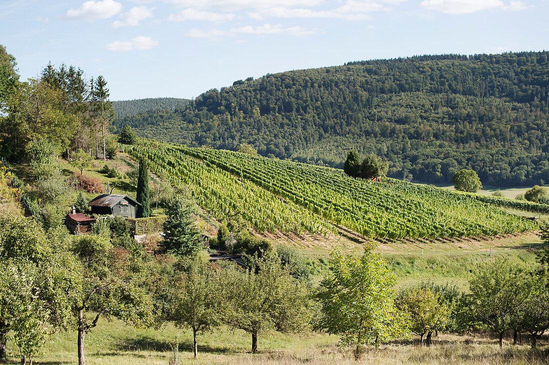 A vineyard near Bürgstadt am Main, Germany