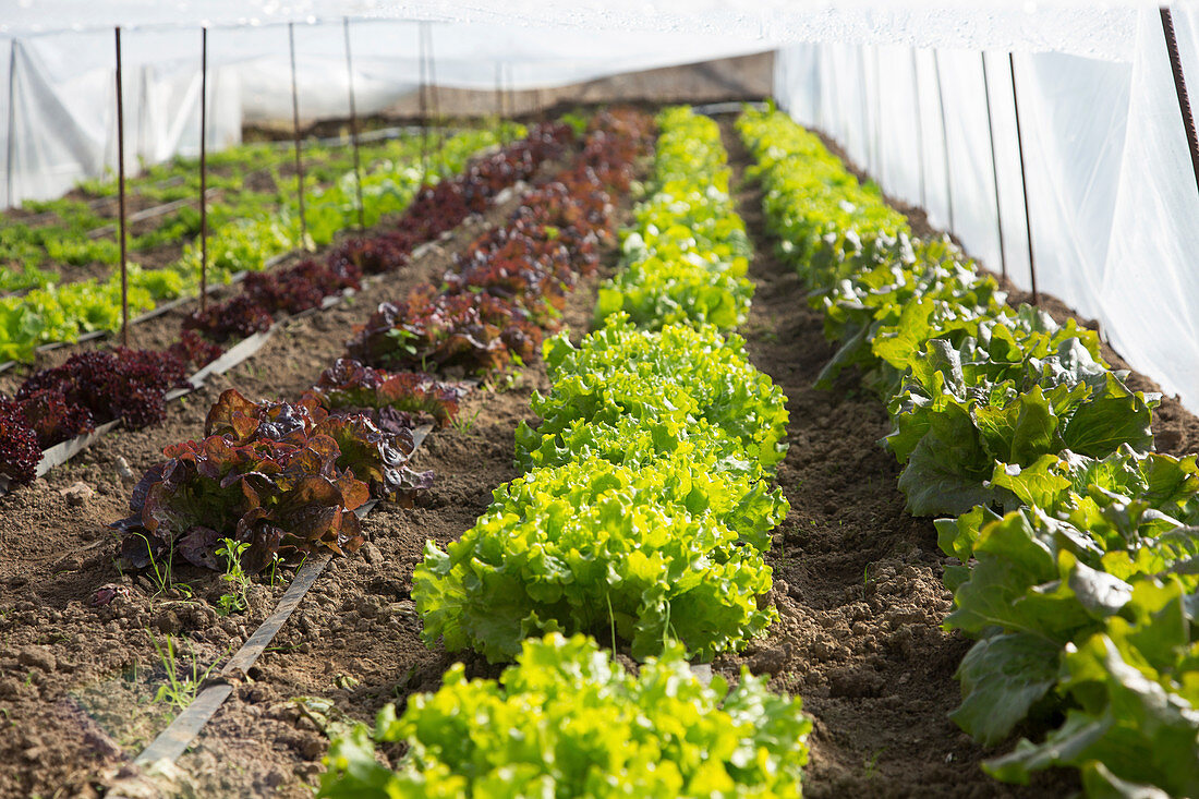 Lettuce being cultivated in a polytunnel