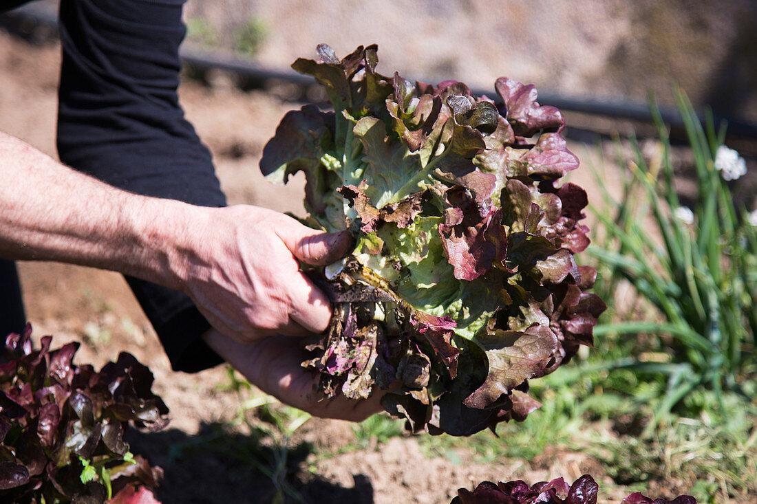Freshly harvested red oak leaf lettuce