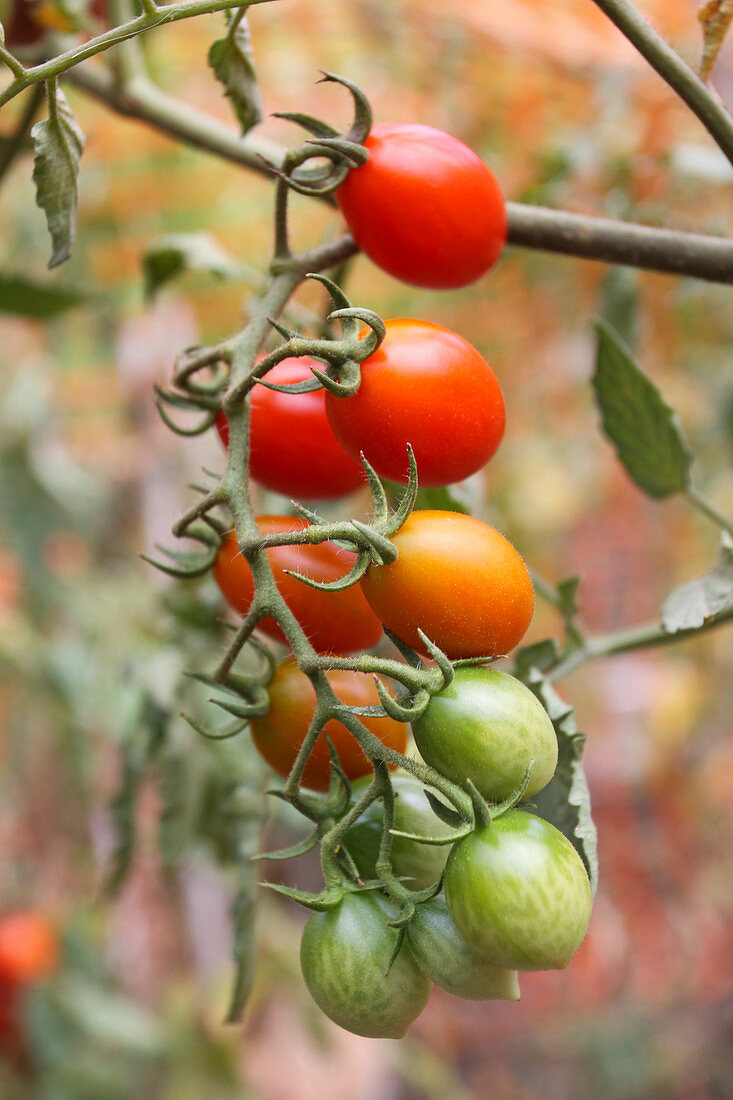 Homegrown cherry tomatoes rippening at different stages for a slow harvest