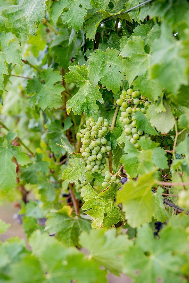 White wine grapes on a vine