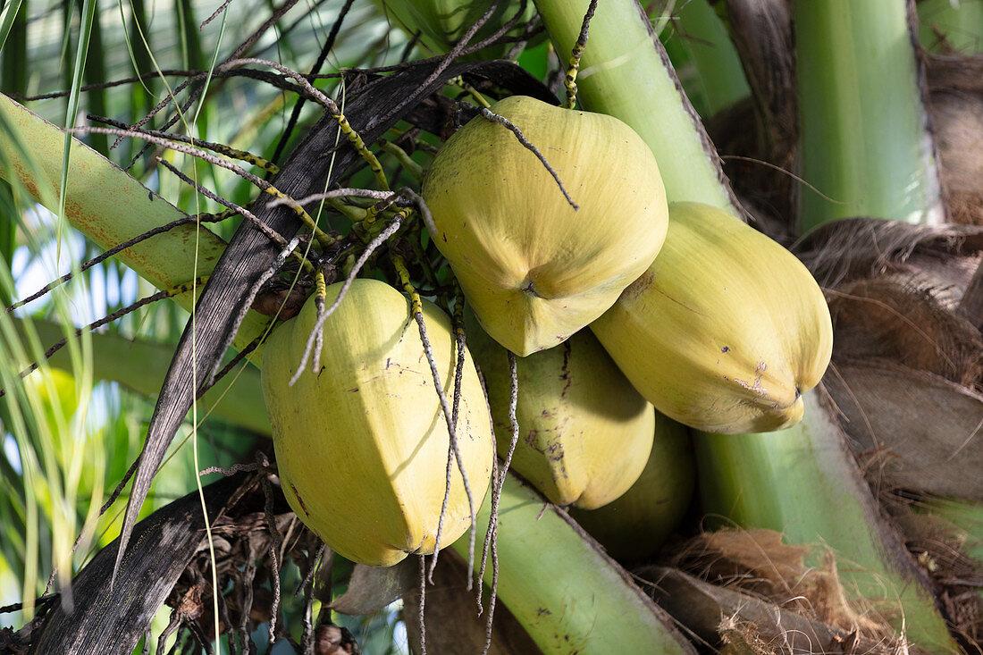 Coconuts on a palm tree, Costa Rica, Central America