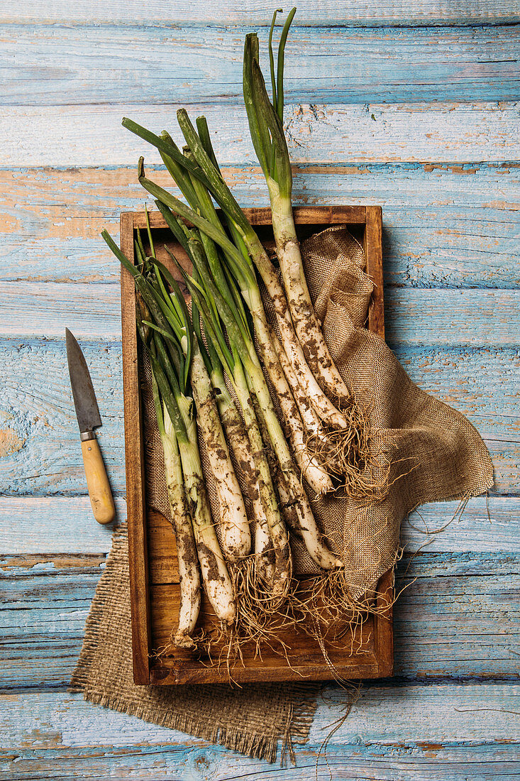 Bunch of ripe dirty calsot onion placed on tray and linen cloth on wooden table near knife in Catalonia, Spain