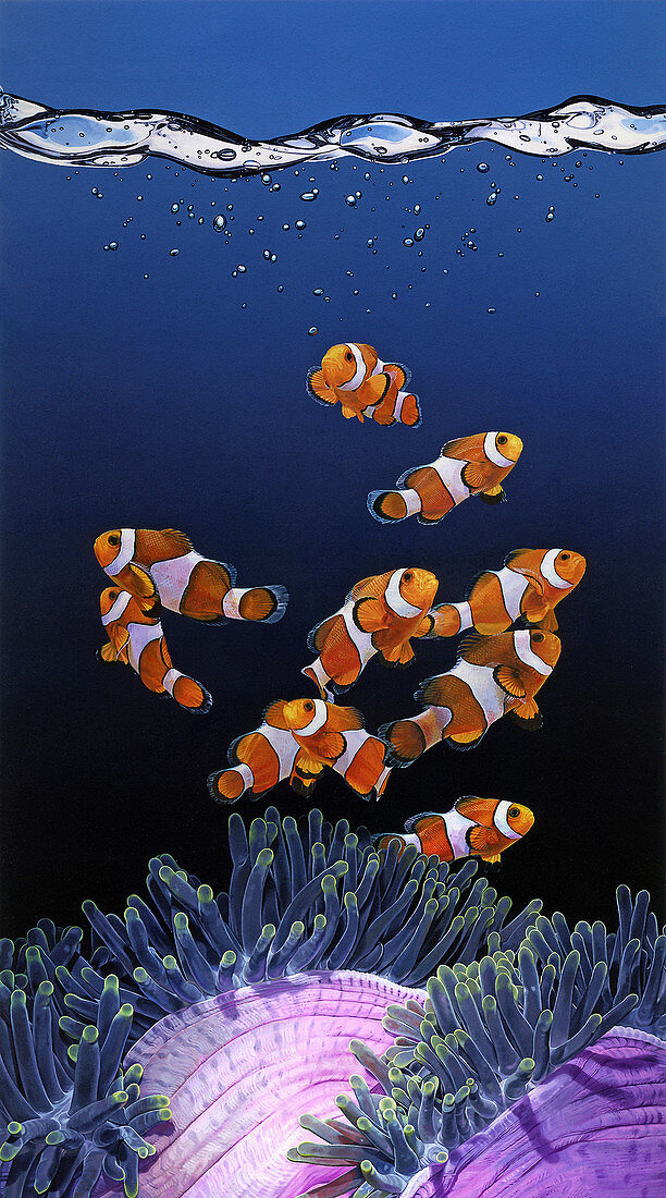 Shoal of Clownfish and Magnificent Sea Anemone, illustration