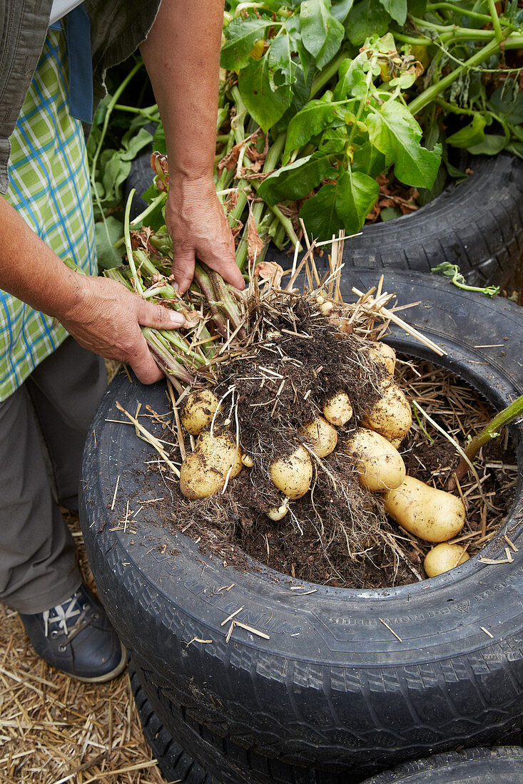 Harvesting potatoes from a container made from car tyres