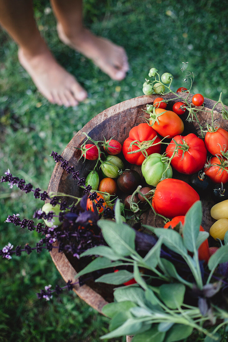 Tomatoes and basil in a bowl outdoor in the garden on grass