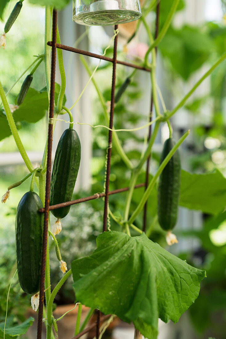 Cucumbers growing on metal trellis in greenhouse