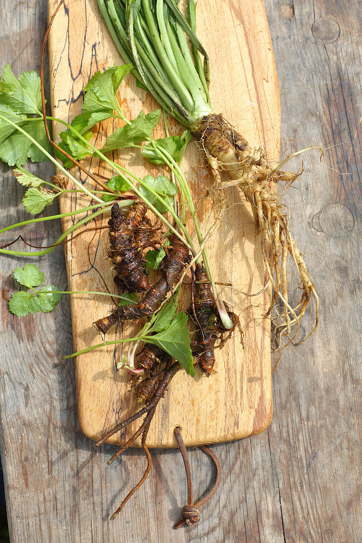 Masterwort and teasels with roots