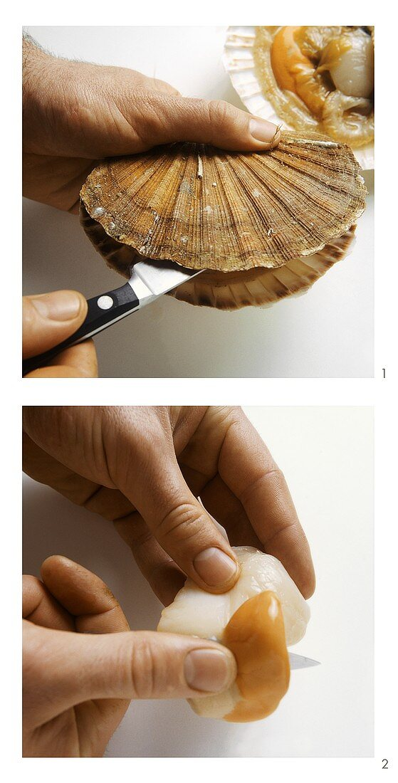 Opening scallops and cleaning the flesh
