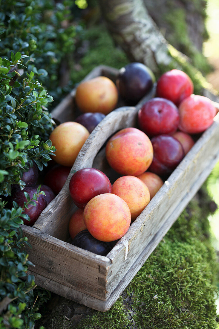 Freshly picked plums in wooden crate