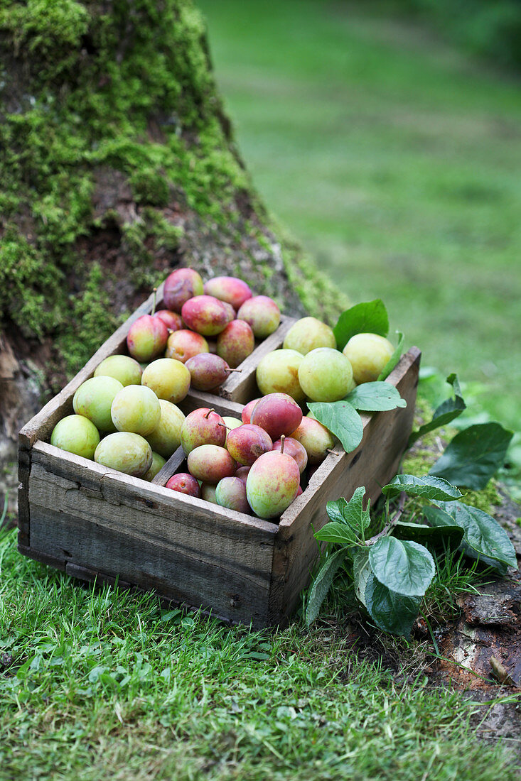 Crate of freshly picked plums