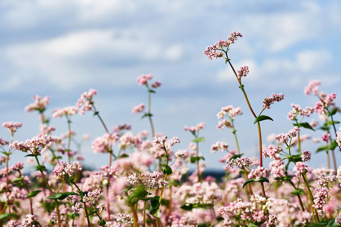 Flowering buckwheat in a field